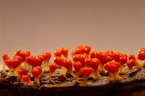 Slime Mold, Trichia Decipiens