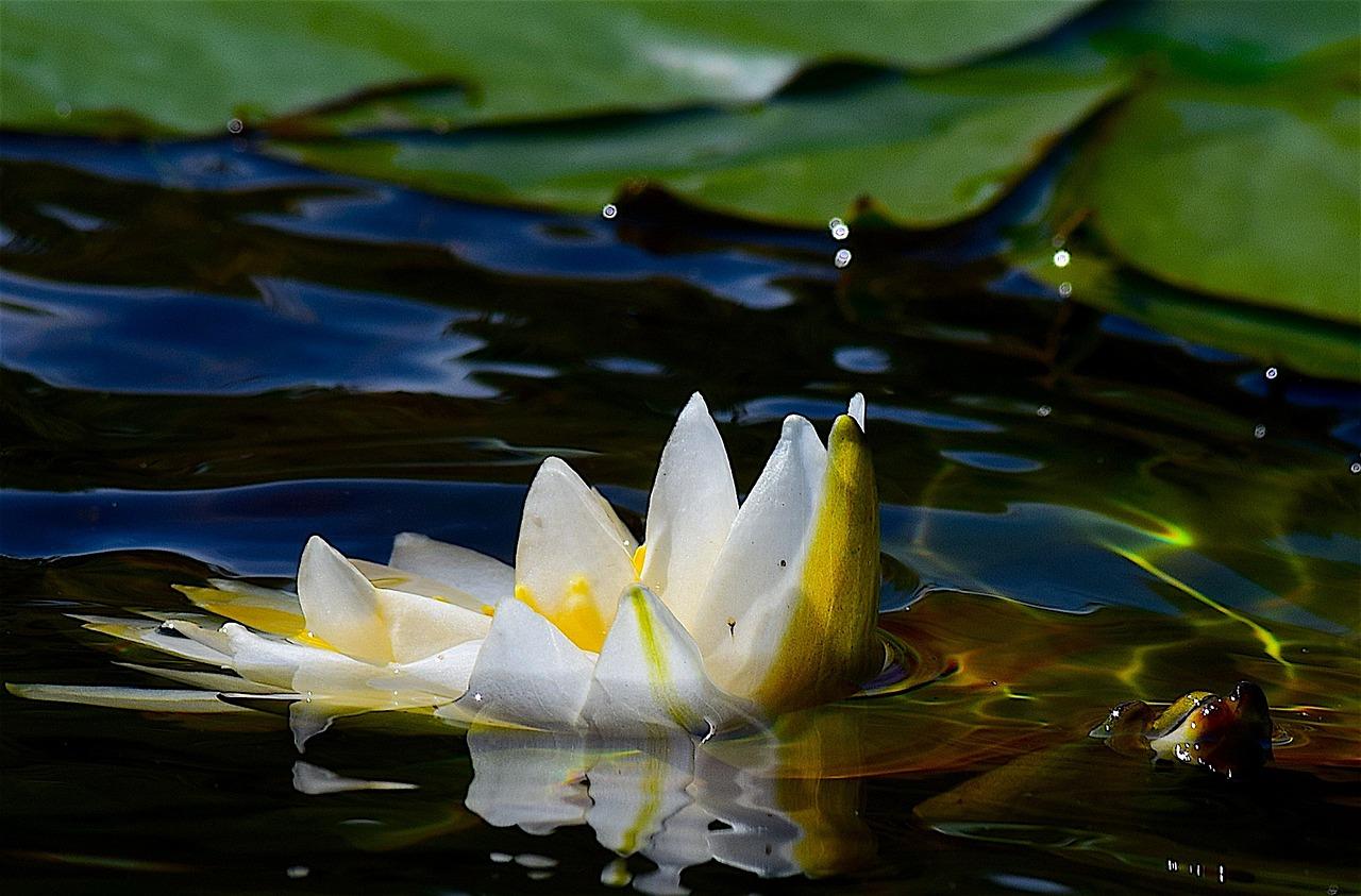 банке водяные лилии и лотос картинки помогает сохранить