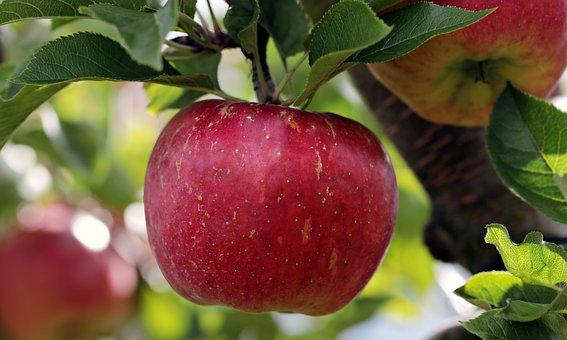 アップル, 赤, 赤いりんご, リンゴの果樹園, おいしい, フルーツ