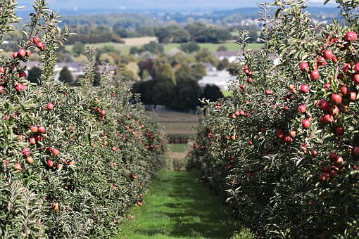 Apple, Landscape Red, Apple Orchard