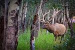elk, forest, nature
