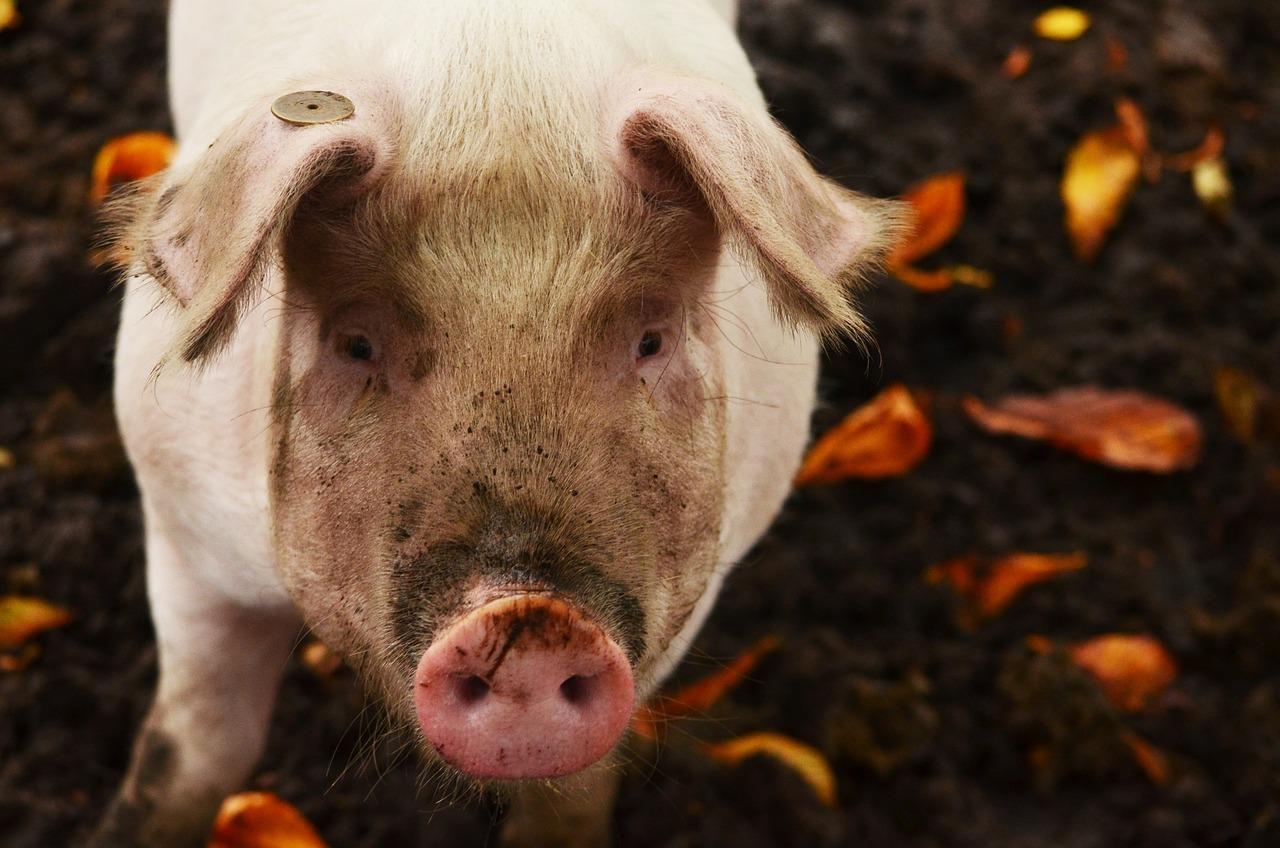 Свинья мини пиг фото