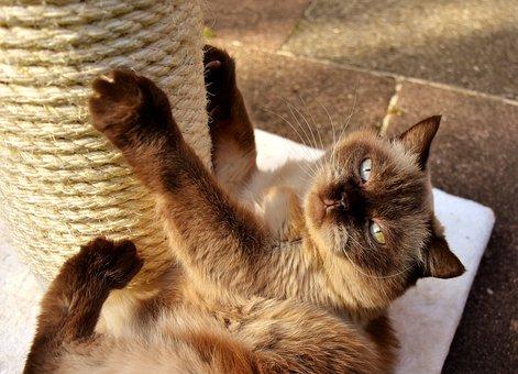 British Shorthair, Cat, Kratzbaum, Play