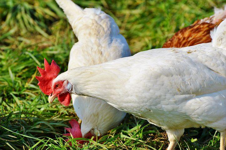 Картинки домашних птиц курица