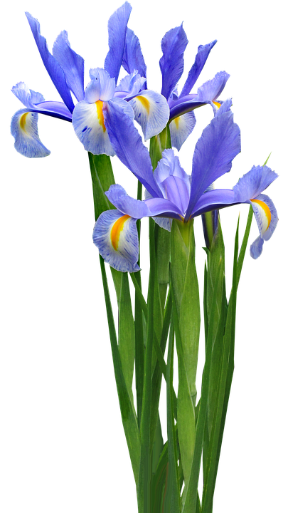 Free photo Dutch Iris Plant Bulb Flower Free Image on