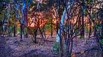 australian bush, sunrise