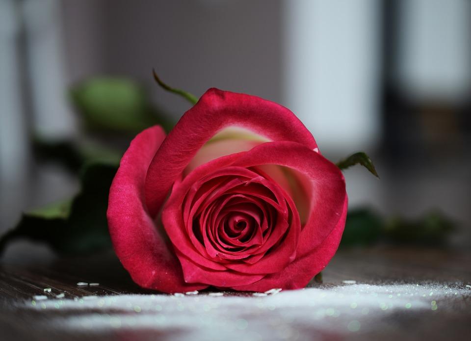 rosa flor hermosa foto gratis en pixabay