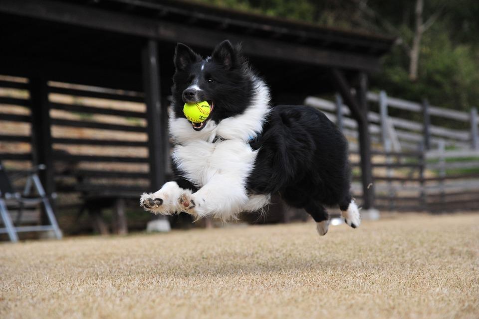 犬, 飛ぶ, 遊び, 走る
