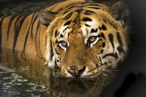 Tiger, Wildlife, Eyes, Bathing, Lake