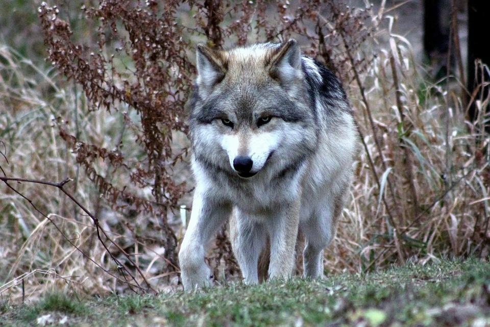 Wolf, Mexikanischer, Tierwelt, Wild, Natur, Hund