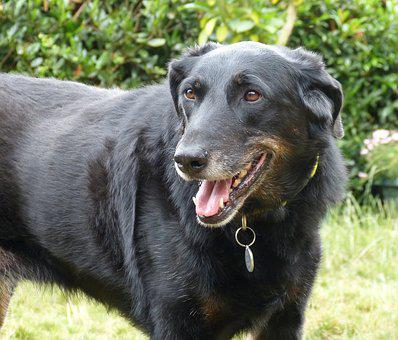 Beauceron, Dog, Animals