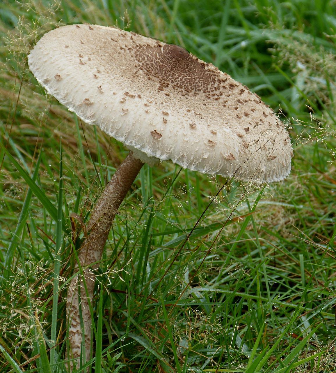 Картинки гриб зонтик