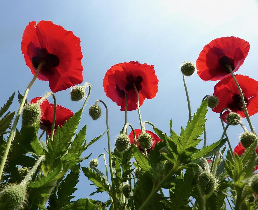 Poppies Red Flowers Green Free Photo On Pixabay