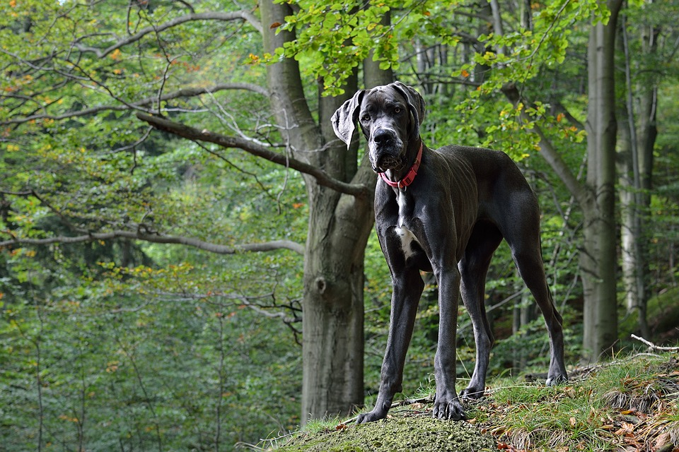 7 questions to ask yourself before buying a Great Dane