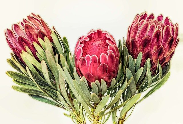 Protea South Africa Red Free Photo On Pixabay