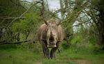 rhinoceros, large, full