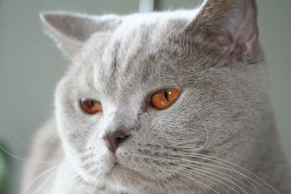 Kot Liliowy Oczy Brytyjski Darmowe Zdjęcie Na Pixabay