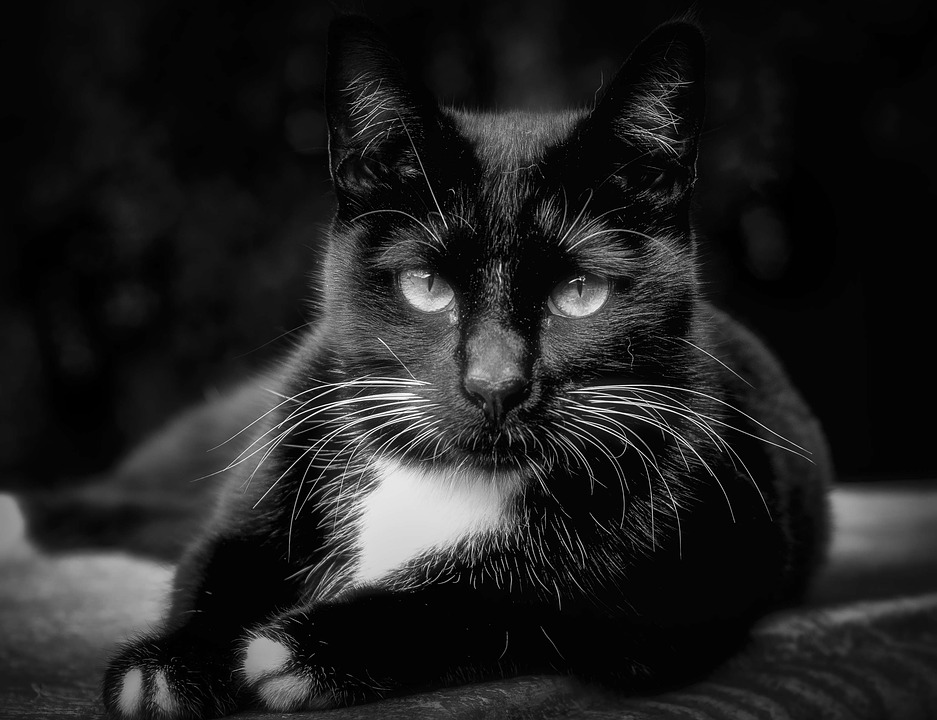 Cat feline close up black and white sweet