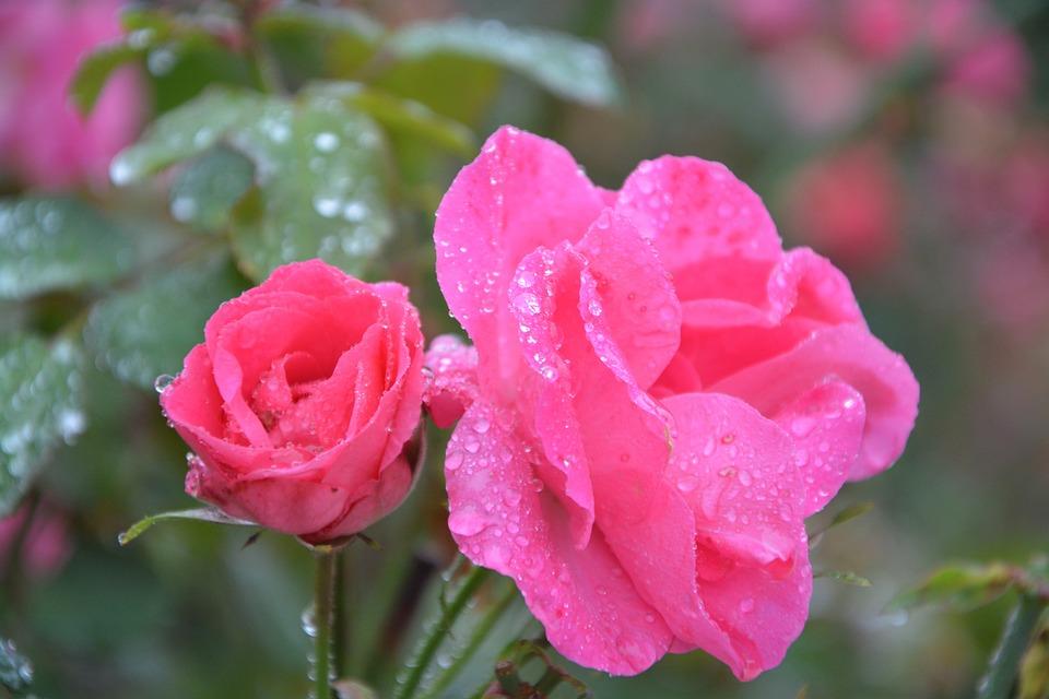 Rose Fleurs Roses Couleur - Photo gratuite sur Pixabay