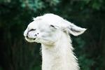 lama, animal, white