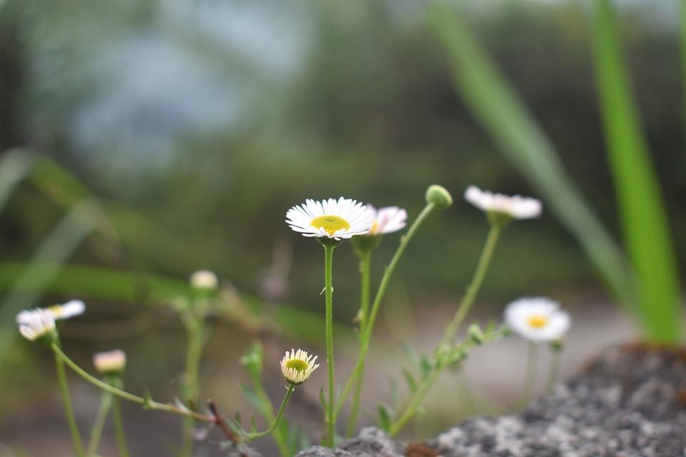 Fiori Bianchi Selvatici.Fiori Selvatici Foto Gratis Su Pixabay