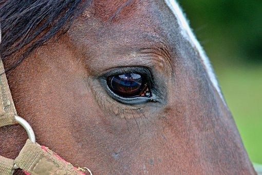 Horse, Eye, Halter, Horse Head