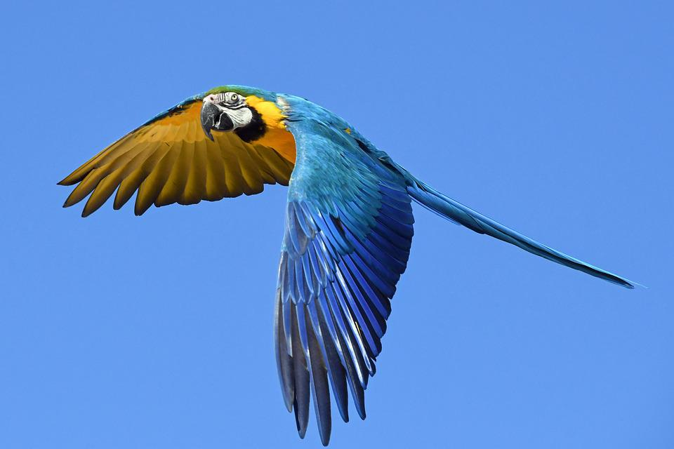 Parrot Blue Macaw Fly Bird Wing Sky