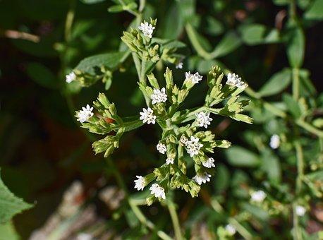Stevia Flowers, Buds, Flower, Blossom