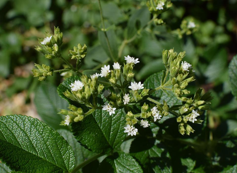 La Stevia Flores En Contra De Pétalos De Rosa, Yemas