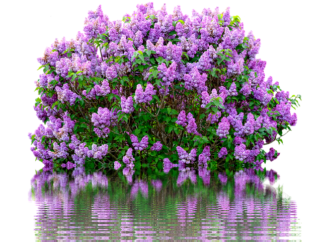 Lilac Spring Purple 183 Free Photo On Pixabay