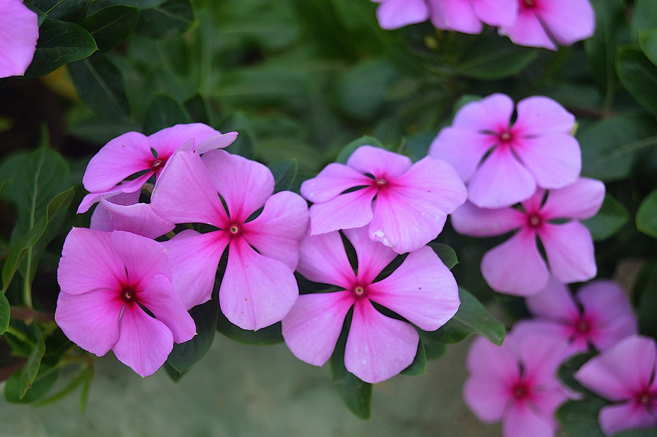 Pink flowers fall free photo on pixabay pink flowers fall flowers flowers garden plants mightylinksfo