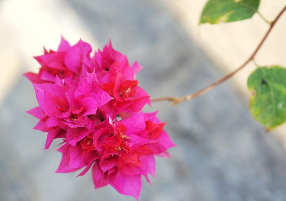 Bunga Kertas Tandan Berwarna Foto Gratis Di Pixabay