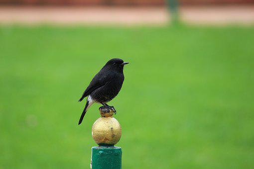 Oiseau, Gobemouche Bush Chat, Nature