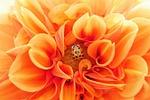 dahlia, orange, colorful