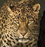 leopard, africa, eyes