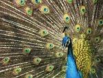 peacock, vanity, plumage