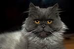 kot, kotek, miauczy