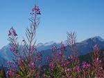 epilobium angustifolium, flower, blossom
