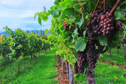 plantation des vignes; raisins; vignoble; champ