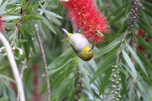 Oiseau, Nature, Oriental Blanc Des Yeux