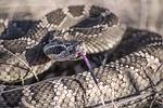 snake, rattlesnake, rattle