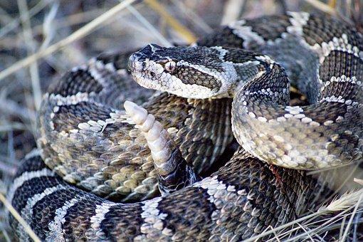 Snake, Rattlesnake, Rattle, Desert