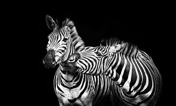 Черная телочка на зебре