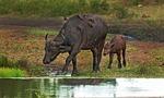 cape buffalo, calf, mother