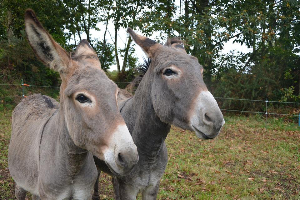 donkeys donkey head profile croix free photo on pixabay
