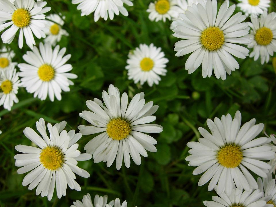 Daisy flower england free photo on pixabay daisy flower england nature spring plant summer mightylinksfo