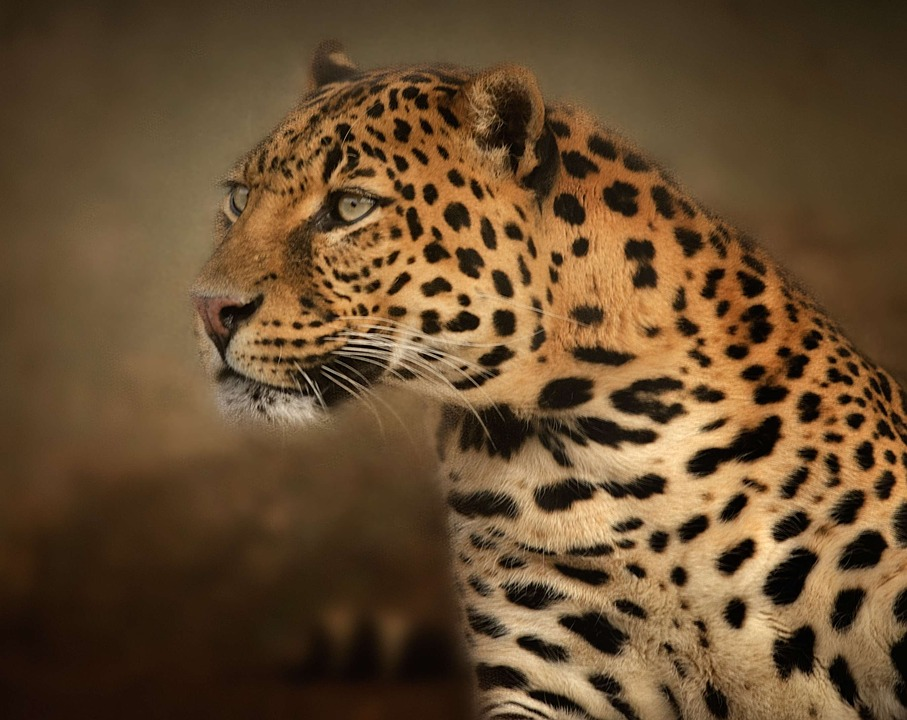 Leopard Free pictures on Pixabay