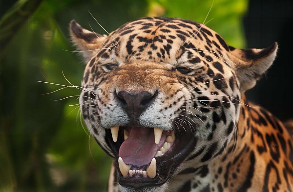 Extremamente Jaguar Panthera Onca Spots Fierce · Free photo on Pixabay AB73