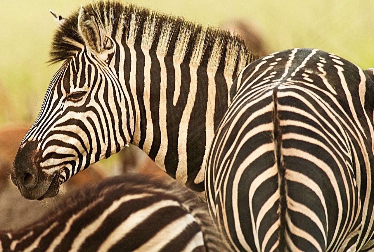 поздравление красивые картинки зебры украины каждый мужчина