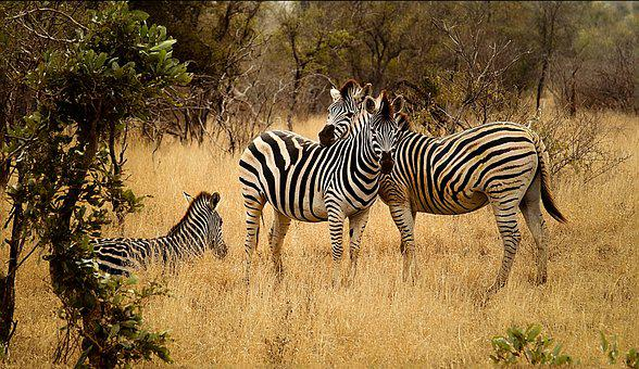 Cebras, Grupo, Sabana, Bushveld, Paisaje